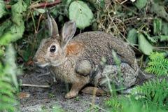 wild kanin Royaltyfria Foton