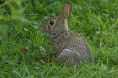 wild kanin Royaltyfri Fotografi