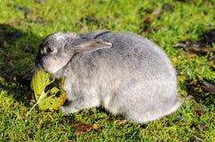 Wild kanin som äter leafen i en parkera Royaltyfria Bilder