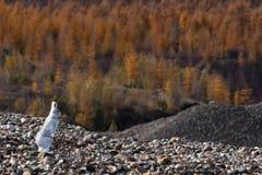Wild kanin undersöker skogen Arkivfoto