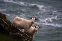 Wild Kasmir Goats Royalty Free Stock Photo