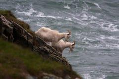 Wild Kasmir Goats Stock Photo