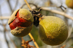 wild kastanjebrunt frö Arkivbild