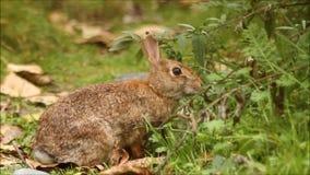 Wild katoenstaartkonijnkonijn die gras eten die dan in achtergrond, Paashaas wegvloeien stock videobeelden