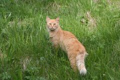 wild katt Royaltyfri Fotografi