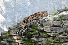 wild katt Amur leopard i frilufts- bur Arkivbild