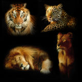 wild katter Arkivbilder