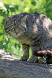 wild kattskott Royaltyfri Foto