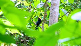 Wild Keel billed toucan in the tropical jungle of Panama stock footage