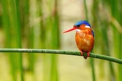Wild Kingfisher in Africa Royalty Free Stock Photos