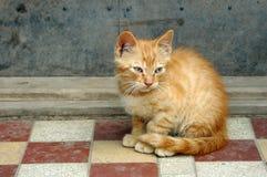 Wild kitten Royalty Free Stock Image