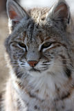 Wild Kitty. Close-up of a Bobcat against natural background Stock Photo