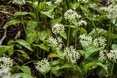 Wild knoflook - alliumursinum, kruiden Wild knoflook in bos stock afbeelding