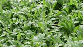 Wild knoflook (Ramsons) in de lente de verse bladeren zijn eetbaar stock videobeelden