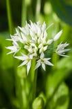 Wild knoflook (ursinum van het Allium) stock afbeeldingen