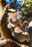 wild koala royaltyfri fotografi