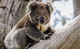 wild koala Arkivfoto
