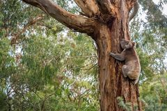Wild koala in Adelaide Hills. Wild koala in climbing up a tree in Adelaide Hills, South Australia stock image