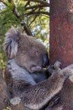 Wild Koala Bear in a tree at the Mt Lofty walk, South Australia royalty free stock photo