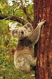 Wild koala climbing Eucalyptus tree royalty free stock photos