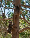 Wild Koala family with the male female and baby Koalas on an Eucalyptus tree on Kangaroo Island in Australia. Wild Koala family with the male female and baby stock image