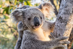 Wild Koala, Magnetic Island, Australia. Wild Koala mother with baby, Magnetic Island, Queensland, Australia Stock Photo