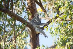 Wild koala (Phascolarctos cinereus) in Australia Stock Photography