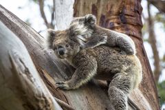 Wild koala seen along the way to Cape Otway Lightstation Melbourne Australia Great Ocean Road. Australasia royalty free stock images