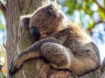 Wild Koala Sleeps in a Tree, Kennett River, Victoria, Australia, October 2016. Phascolarctos cinereus, Phascolarctidae stock image