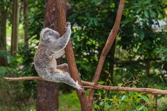Wild koala on a tree in a green park in Australia. Cute koala sitting on a trees in a green summer park in Australia. Soft blurred background behind royalty free stock photography