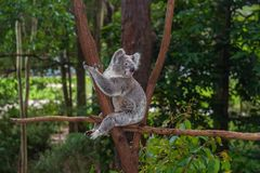 Wild koala on a tree in a green park in Australia. Cute koala sitting on a trees in a green summer park in Australia. Soft blurred background behind stock photos