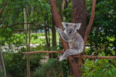 Wild koala on a tree in a green park in Australia. Cute koala sitting on a trees in a green summer park in Australia. Soft blurred background behind stock photo