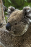 Wild Koala Turns His Head Stock Images