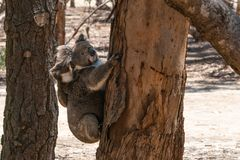 Wild Koalas on an Eucalyptus tree trunk with the mother carrying her baby koala on her back on Kangaroo island Australia. Wild Koalas on an Eucalyptus tree trunk royalty free stock photos