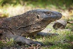 Wild Komodo Dragon Stock Image
