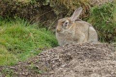 Wild konijn met ziekte Stock Foto