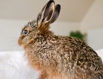Wild konijn thuis Stock Afbeeldingen