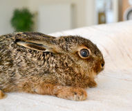 Wild konijn thuis Royalty-vrije Stock Foto
