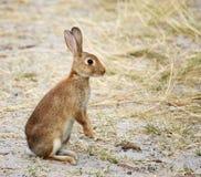 Wild konijn waakzaam aan gevaar Royalty-vrije Stock Afbeelding
