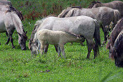 Wild konik horse foal Royalty Free Stock Photography