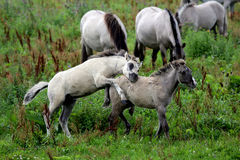 Wild konik horse foals Royalty Free Stock Photography