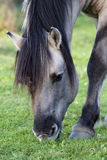Wild Konik Horse grazing in nature Royalty Free Stock Image