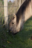 Wild Konik Horse grazing in nature Stock Image