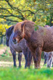 Wild konik horses in a Dutch forest Royalty Free Stock Image