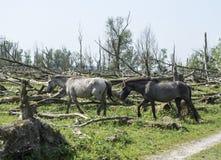 Wild konink horses in dutch landscape Royalty Free Stock Image