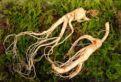 Wild Korean ginseng root. Wild ginseng can be processed to be red or white ginseng. Ginseng has been used in traditional medicine stock image