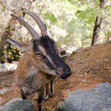 Wild kri-kri goat in Samaria Gorge, Crete, Greece. Royalty Free Stock Photography