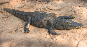 Krokodil på sanden i naturen Royaltyfria Bilder