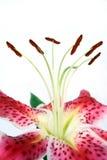 wild krona Royaltyfria Bilder