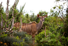 Wild Kudu Royalty Free Stock Photo